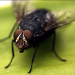How To Get Rid Of Flies From House And Fruits