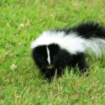How To Get Rid Of Skunk Smell From House And Dogs