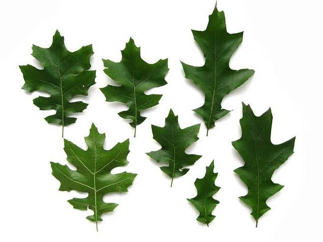 Oak Tree Leaf Identification