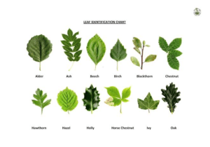 Tree Leaf Identification By Leaf And Size